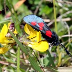 The Five-Spot Burnet Moth