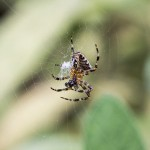 simon taylor images - miniature world - garden spider