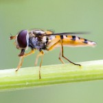 Hoverfly nature photography - simon taylor images