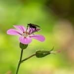 Black Fly - Pink Flower