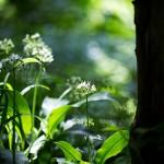 Garlic Flower Woods
