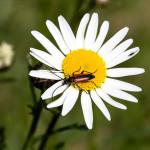 Red Longhorn Flower Beetle On Daisy