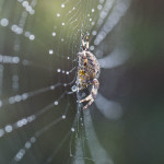 Garder Cross Spider and Web