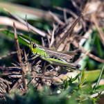 Grasshopper In the Brambles