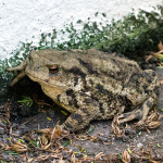 Common toad sheltering in the garden