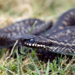 Adders - UK Wildlife