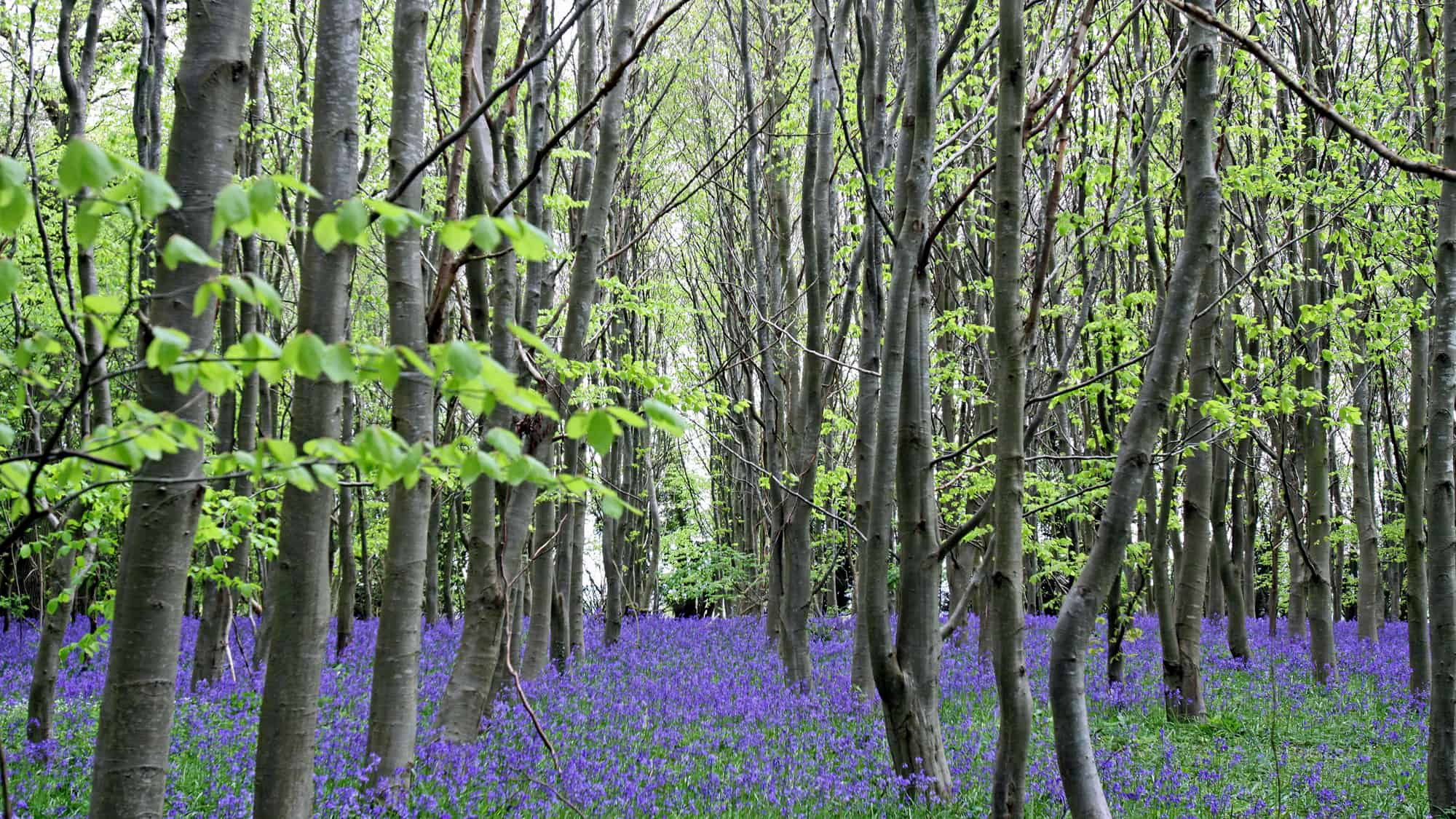 Bluebells covers the woodland floor - springtime
